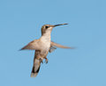 Young ruby throated hummingbird in flight against clear blue sky Stock Photos
