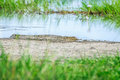 A young saltwater crocodile on a bank of the swamp in Northern Territory, Australia Royalty Free Stock Photo