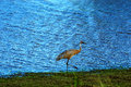 Young sand hill crane on a stroll along pond in necedah wildlife refuge in wisconsin Stock Images