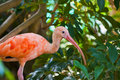 Young Scarlet Ibis Royalty Free Stock Image