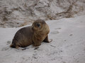 A young sea lion baby australian on the beach of seal bay of kangaroo island in australia Stock Photography