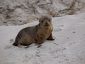 A young sea lion baby australian on the beach of seal bay of kangaroo island in australia Royalty Free Stock Images