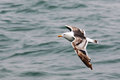 Young Seagull flies over the sea Royalty Free Stock Photo