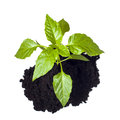 Young seedling growing in a soil. Royalty Free Stock Photos
