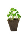 Young seedlings of basil in a small pot Royalty Free Stock Photo