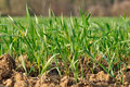 Young seedlings of wheat Royalty Free Stock Photos