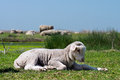 Young sheep on the grass Stock Images