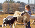 Young sheep lover a two year old girl stands with in an enclosure Royalty Free Stock Photo