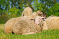 Young sheep lying in flock Royalty Free Stock Photo
