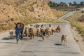 Young shepherd boy and flock of sheep jordan al beidha may near al beidha in middle east on may th Royalty Free Stock Photo
