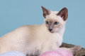 Young Siamese cat in basket Stock Photo