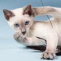 Young Siamese cat playing with feathers Stock Images