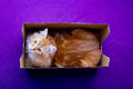 Young siberian cat in the box ginger stripped catin looking to camera Royalty Free Stock Photos