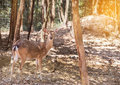 Young sika deers or spotted deers or Japanese deers Cervus nippon Royalty Free Stock Photo