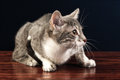 Young Silver Tabby Kitten Cat ...