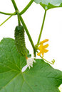 Young small cucumber on the stem Stock Images