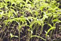 stock image of  Young small green sprouts grow from the ground, close-up