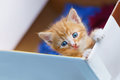 Young small kitten lean out of the box and looking Royalty Free Stock Photo