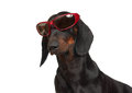 Young smooth black and tan dachshund in red rimmed sunglasses portrait of on white background Stock Image