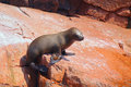 Young South American sea lion in Ballestas islands Reserve in Pe