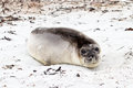 Young southern elephant seal falkland islands Royalty Free Stock Image