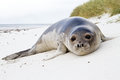 Young southern elephant seal falkland islands Stock Image