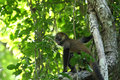 A young spider monkey - wildlife outdoor sitting on tree branch with green leaves looking away - natural background