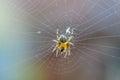 Young diadem spider on web. Araneus diadematus, Araneidae Royalty Free Stock Photo