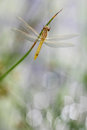 Young spotted darter dragonfly sitting plant Stock Image