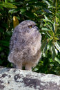 Young Spotted Eagle Owl Royalty Free Stock Photo