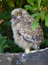 Young Spotted Eagle Owl Stock Images
