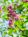Young spring leaves of lilac tree illuminated by sunlight Royalty Free Stock Photos
