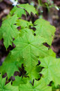 Young spring maple tree leaves on green background in wet forest Royalty Free Stock Photo