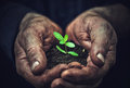 Young sprout plants in old dirty hands, concept Royalty Free Stock Photo