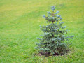 Young spruce in the landscape with green grass Royalty Free Stock Photography
