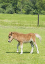 Young stallion horse foal newborn in a meadow on a farm Stock Image