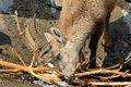 A young steinbock the alpine ibex eats twigs during winter in alps Stock Image