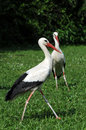 Young storks Royalty Free Stock Photo