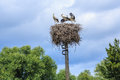 Young storks sitting in the nest Royalty Free Stock Image