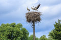 Young storks sitting in the nest Stock Images