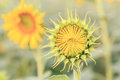 Young sun flower the sign of hope for your success and nature background.