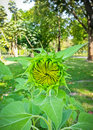 Young sunflower or helianthus annuus in beautiful sunlight Stock Images