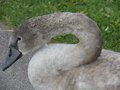Young swan cygnet months old about five reaching down to eat some food Stock Images