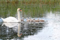 Young swan family Royalty Free Stock Photo