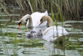 Young swan family familiy with their two days old children the birds swimming in a lake image taken in free nature Royalty Free Stock Images
