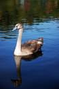 Young swan Royalty Free Stock Photo