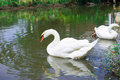 Young swans in lake Royalty Free Stock Photo