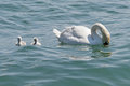 Young swans Royalty Free Stock Photo