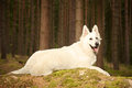 Young Swiss white shepherd female in summer forest