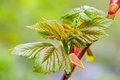 Young sycamore tree leaves early spring acer pseudoplatanus in great britain Stock Photo
